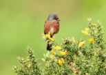 Dartford Warbler, Thursley Common. 4/5/19