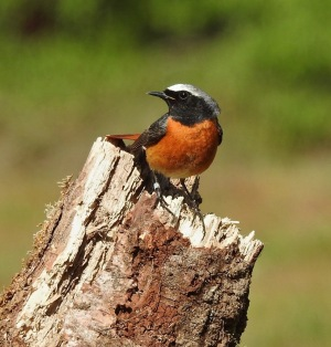 Redstart, Thursley Common. 4/5/19