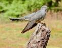 Cuckoo, Thursley Common. 4/5/19