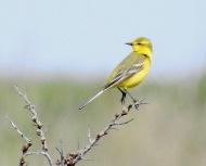 Yellow Wagtail, Kilnsea, 21.5.19