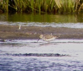 Wibbly wobbly Stilt Sandpiper. Lunt Meadows, 17.5.19