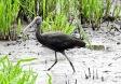 Glossy Ibis, Marshside, 13.7.19