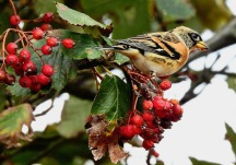 Brambling, Spurn, 5/10/19