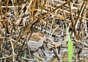 Little Bunting, Spurn, 6/10/19