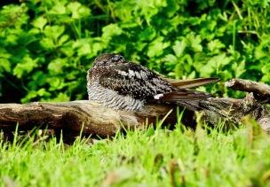 Common Nighthawk, Antrim, 8/10/19