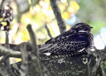 Common Nighthawk, Antrim, 8/10/19