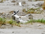 Kentish Plover, Southport Beach, 10/10/19