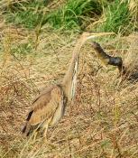 Purple Heron, Marshside, 17.12.19