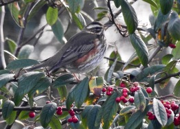 Redwing, Ainsdale, 29.12.20
