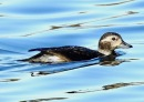 Long Tailed Duck, Crosby Coastal Park, 31.12.19.