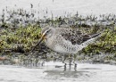 Long Billed Dowitcher, Crossens Inner Marsh, 11/1/20.