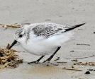 Sanderling, Ainsdale Beach, 10.2.20