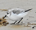 Sanderling, Ainsdale Beach, 10.2.20