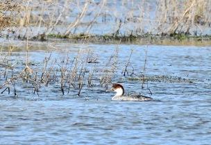 Redhead Smew, Brockholes, 23.2.20