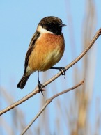 Stonechat, Ainsdale, 26.3.20
