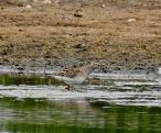 Pectoral Sandpiper, Lunt Meadows, 18/5/20