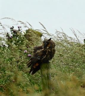 Long Eared Owl, Bempton Cliffs 4/7/20