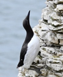 """Bridled"" Guillemot, Bempton Cliffs, 4/7/20"