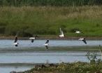 Little Gulls, Kilnsea, 20.7.20