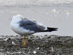 Yellow Legged Gull, KIlnsea, 20.7.20