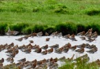 Long Billed Dowitcher (with Blackwits), Marshside, 25/7/20
