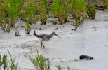 Wood Sandpiper, Hesketh Out Marsh (East), 16/8/20