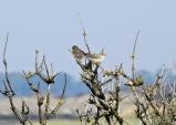 Barred Warbler, Spurn, 3.9.20