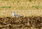 Sabine's Gull, Hale, 12/9/20