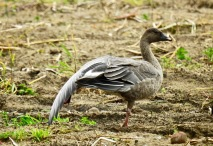 Pink Footed Goose, Plex Moss, 18.10.20
