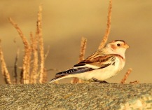Snow Bunting, Leasowe, 31.10.20
