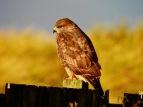 Common Buzzard, Ainsdale, 27.11.20