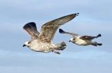 1st yr Herring Gulls, Southport Marine Lake, 16.1.21