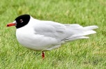 Adult Med Gull, Kings Gardens, Southport, 13.4.21