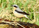 Male Wheatear, Marshside, 26.3.21