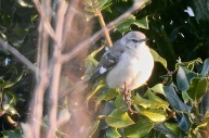 Northern Mockingbird, Exmouth, 3/4/21.