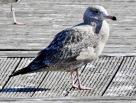 American Herring Gull, Newlyn, 03/4/21.