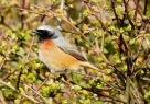 Redstart, Ainsdale, 6.4.21