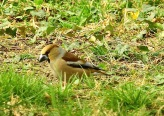 Hawfinch, Sizergh Castle, Cumbria, 24.4.21