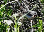 Eastern Subalpine Warbler, Spurn, 29.5.21.