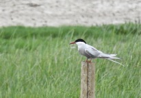 Arctic Tern, Hesketh Out Marsh (east), 14.6.21
