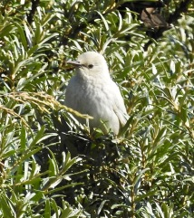 Leucistic Starling, Ainsdale Discovery Centre, 22.6.21
