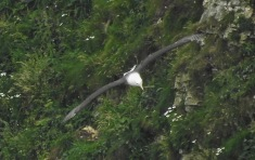 Black-browed Albatross, Bempton Cliffs, 5/7/21.