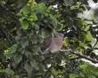 Oriental Turtle Dove (meena), Easington. 5/7/21.