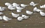 Elegant Tern, Alt Estuary, Hightown. 5.8.21.