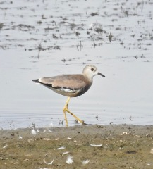 White-tailed Lapwing, Blacktoft Sands, 28.8.21